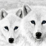 Притча дня. Два волка